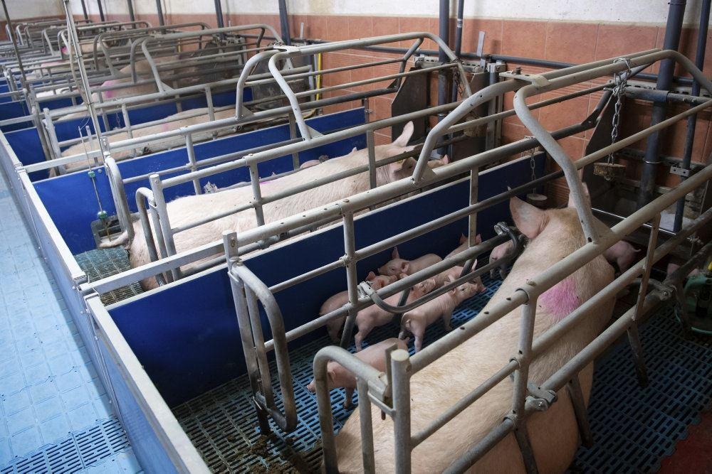 grise står i små indelukker