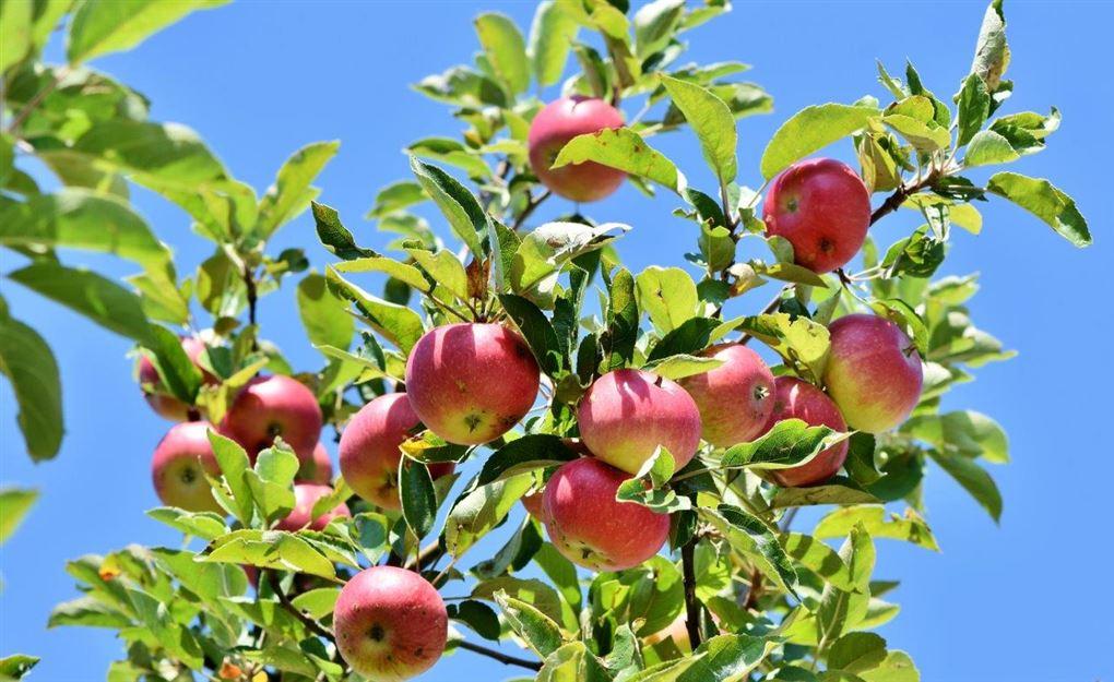 Et æbletræ i solen