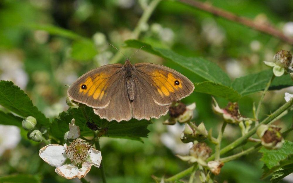 En brun sommerfugl på græs