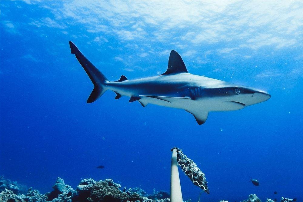 En kæmpe haj