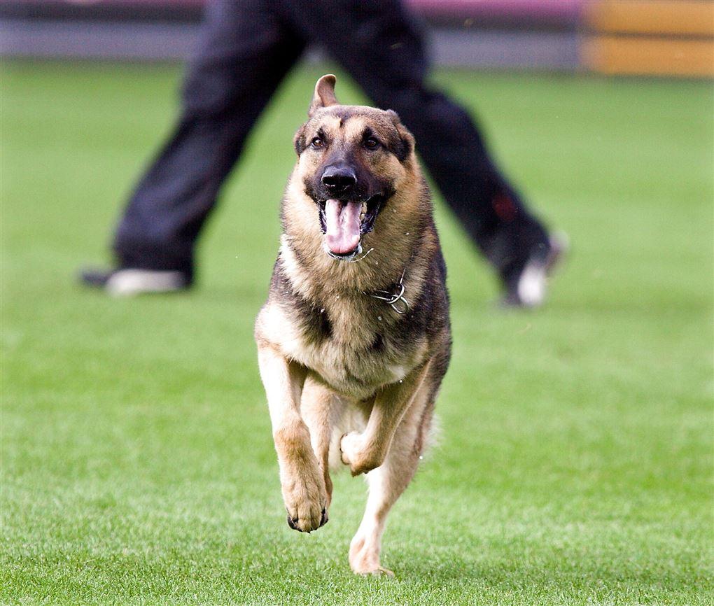 En schæfer hund i løb med åben mund.