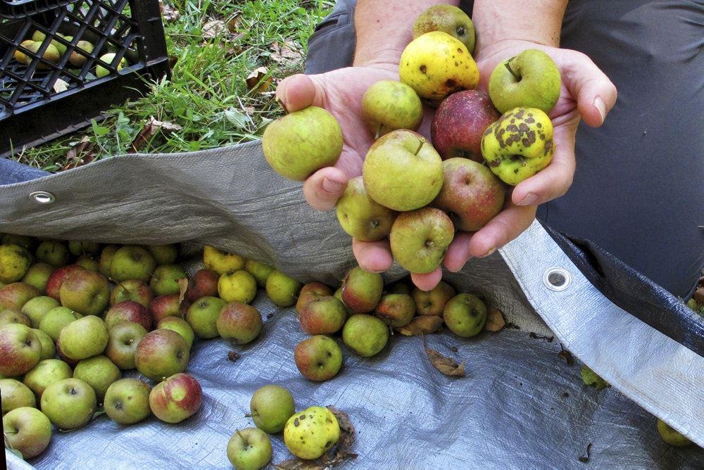 person med masser af æbler i hænderne