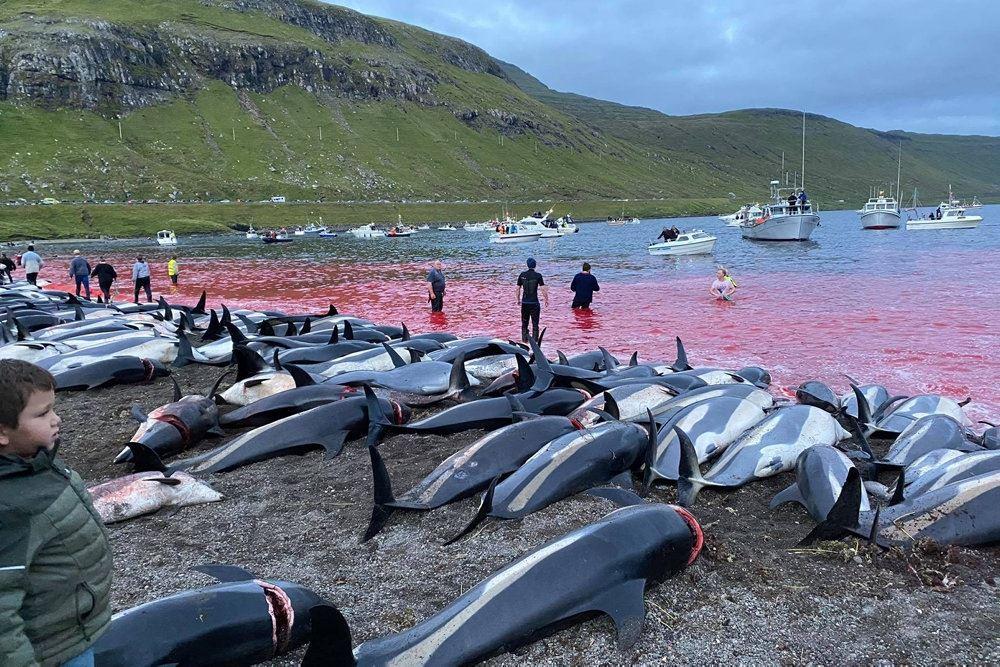 de mange delfiner ligger på land mens vandet er blodrødt bag dem