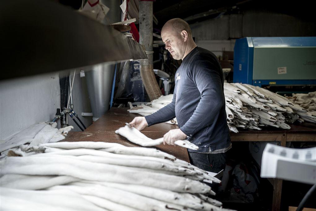 En mand sorterer mink-skind