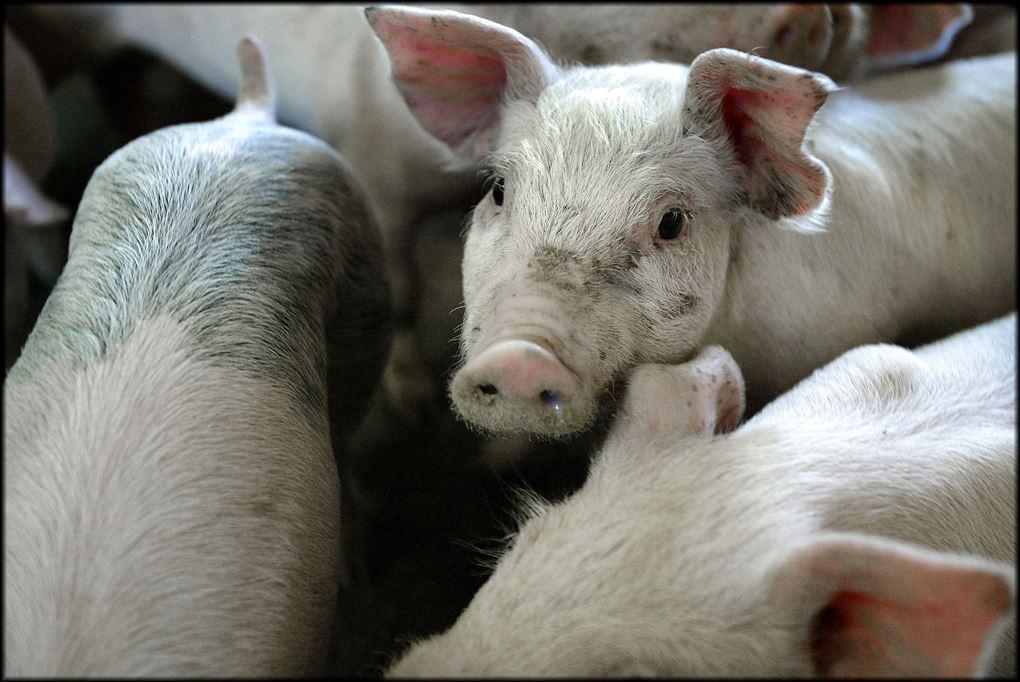 grise står tæt sammen
