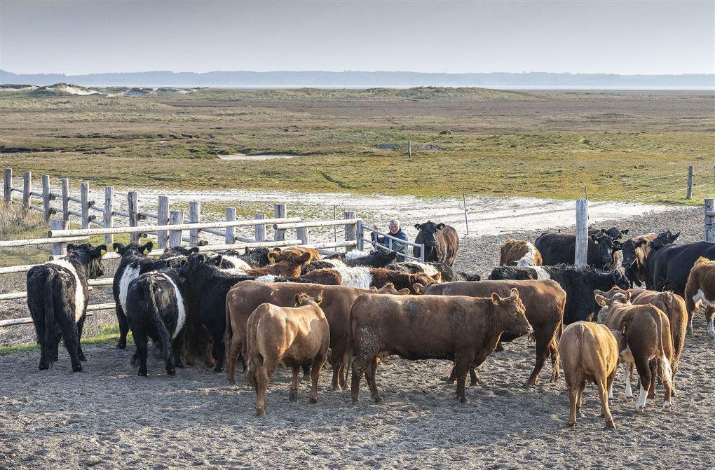 En masse køer på en mark